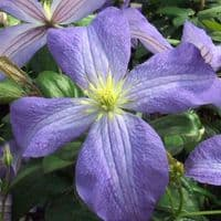 Clematis Jenny